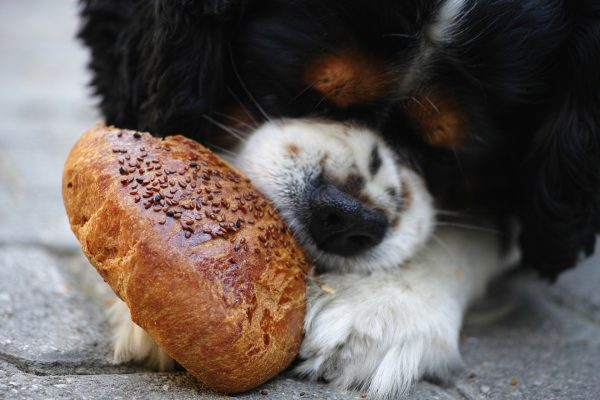 mi perro tiene obsesion por la comida