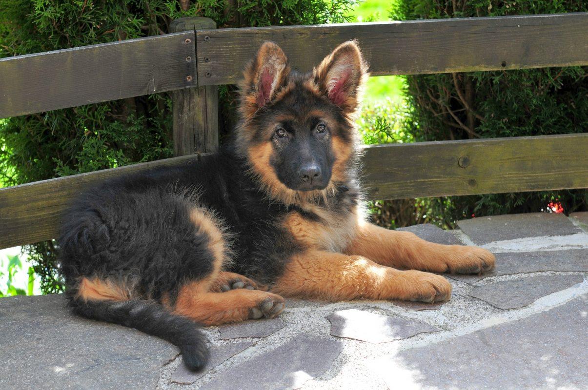doble manto en el perro
