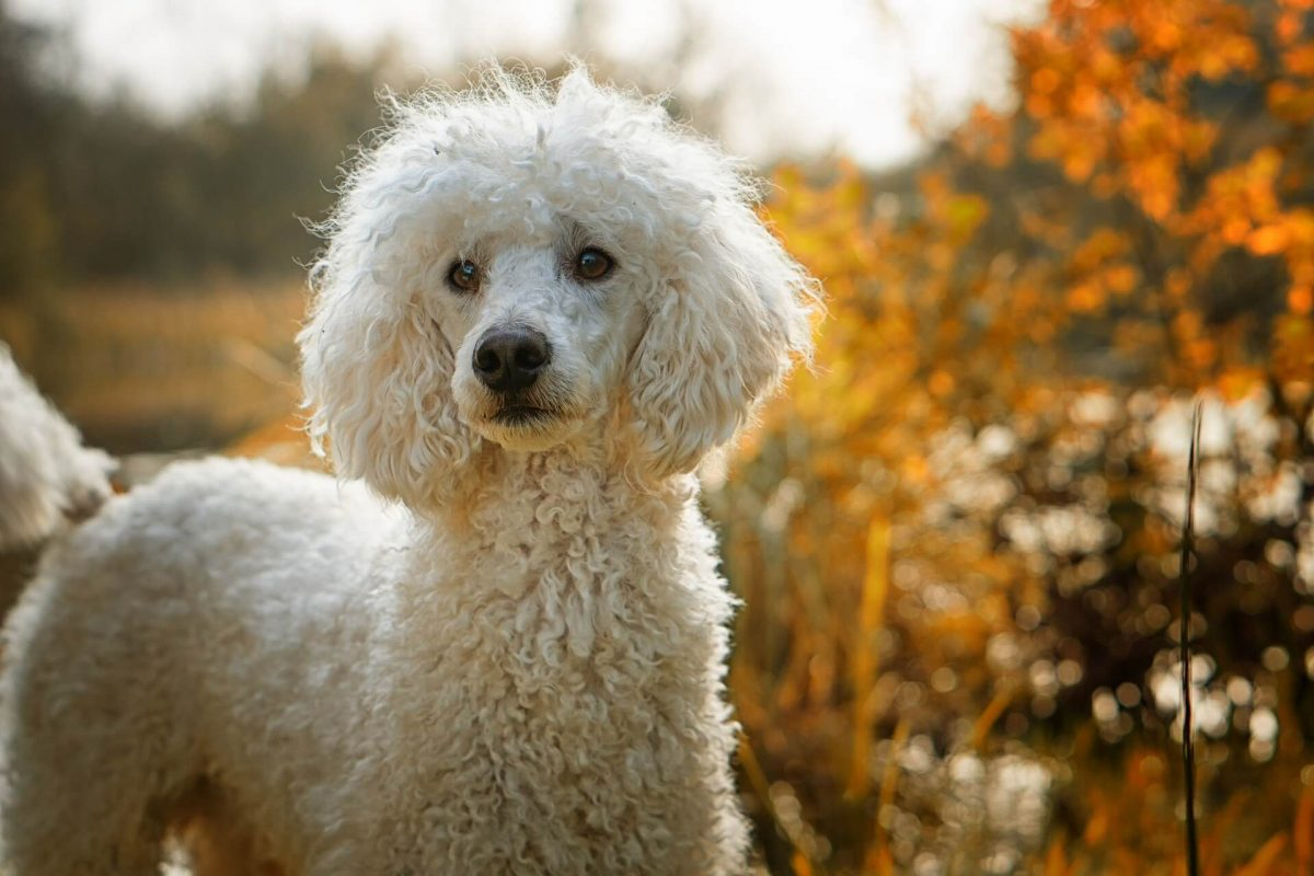 perro pelo rizado