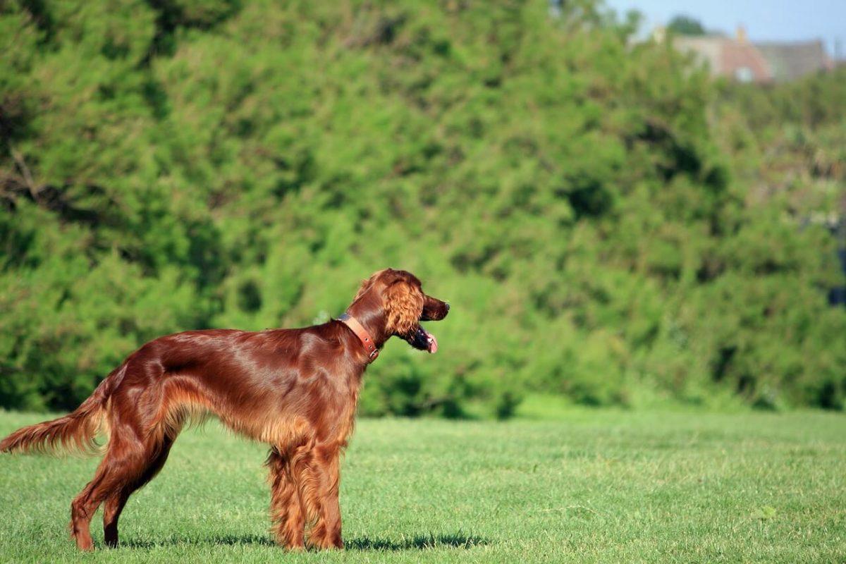 perros de pelo semi largo