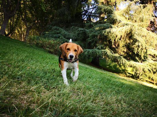 cuando debe comer un perro antes o despues del paseo