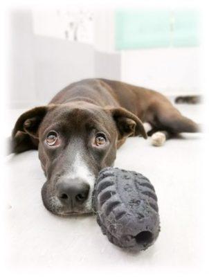 juguete perro adulto dentadura duro